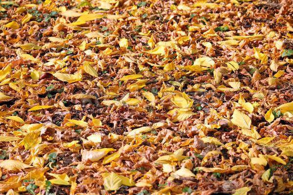 Zuhan levelek föld őszi idény természet háttér Stock fotó © goce
