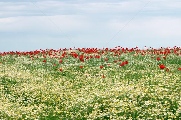 Camomila papoula flores silvestres prado primavera temporada Foto stock © goce