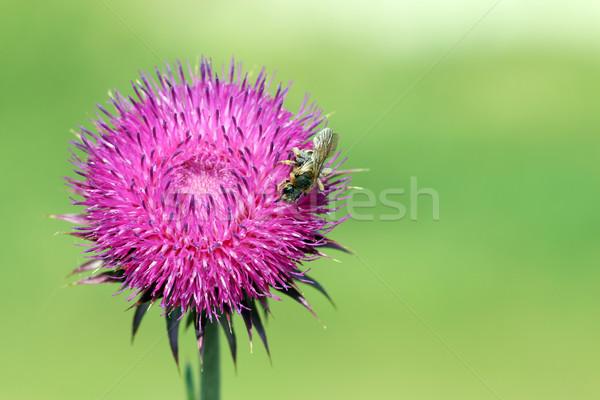 Méh vadvirág tavasz virágok nyár növény Stock fotó © goce