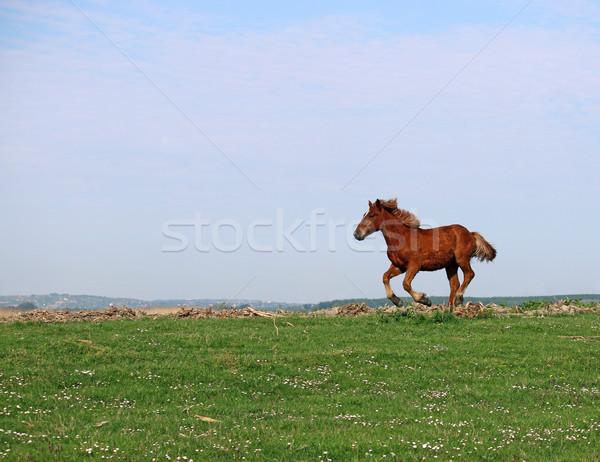 brown horse running on field Stock photo © goce