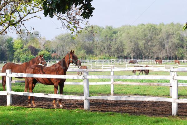 farm scene with horses in coral Stock photo © goce