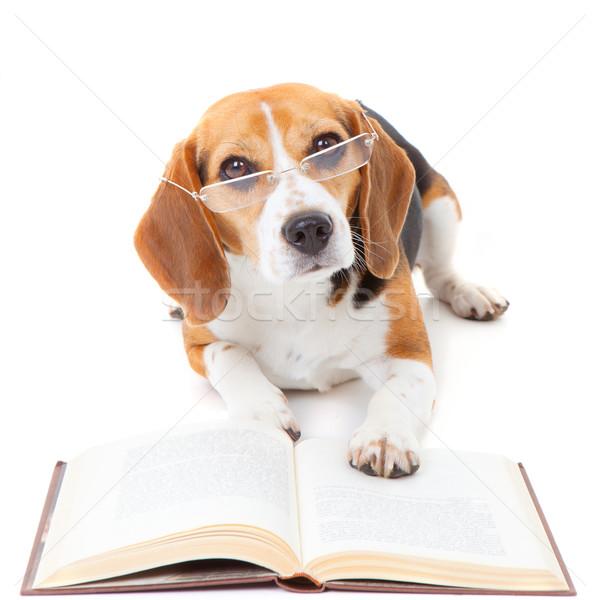 Köpek okuma kitap tazı gözlük Stok fotoğraf © godfer