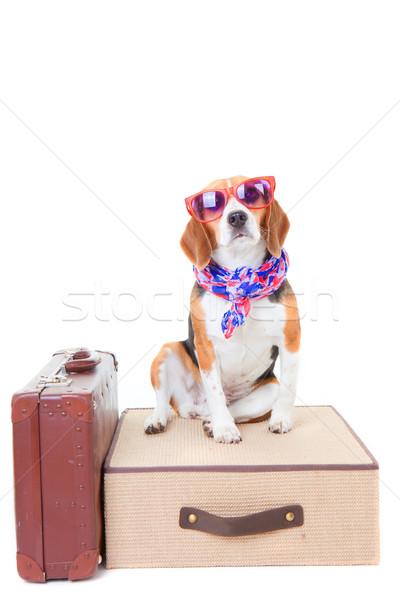 Utazás kopó kutya öltöny nyári szabadság vakáció Stock fotó © godfer