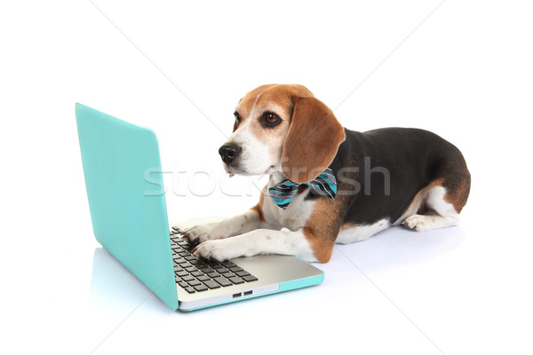 Affaires animal chien utilisant un ordinateur portable ordinateur puce Photo stock © godfer
