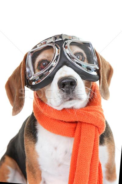 Köpek uçan gözlük gözlük tazı Stok fotoğraf © godfer