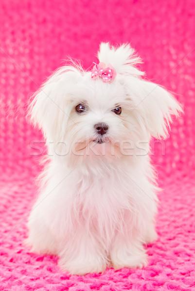 Cute cachorro perro rosa arco retrato Foto stock © godfer
