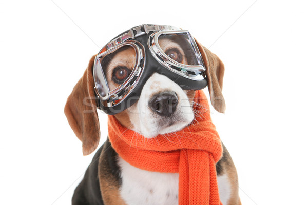 holiday pet concept, dog in flying glasses Stock photo © godfer