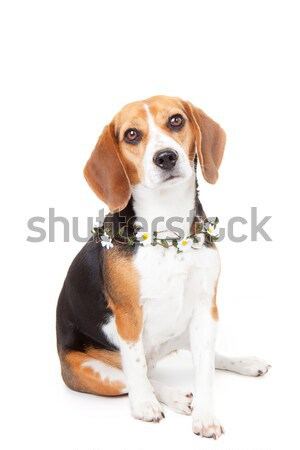 Beagle animal chien fleurs triste portrait Photo stock © godfer