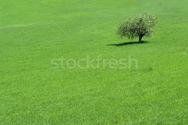 green field with a solitary  tree growing Stock photo © godfer