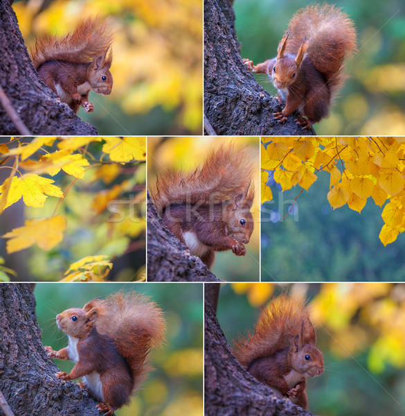red squirrel in tree Stock photo © godfer