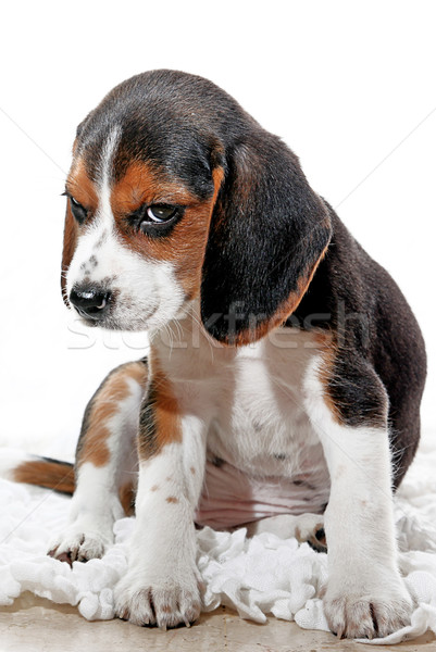 puppy dog with attitude Stock photo © godfer