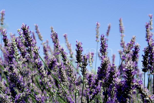 Lavanda Bush aromático plantas Foto stock © godfer