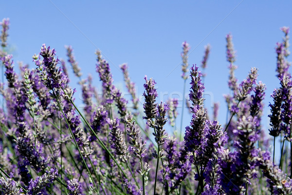 Lavande Bush aromatique plantes Photo stock © godfer