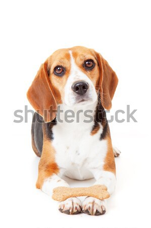 obedient dog training Stock photo © godfer