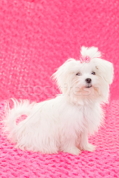 maltese dogs Stock photo © godfer