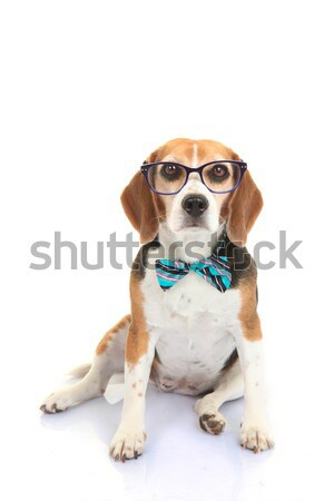 ペット 犬 インテリジェンス 訓練 学生 眼鏡 ストックフォト © godfer