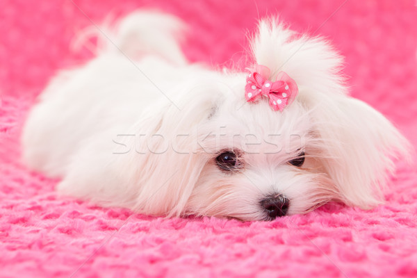 pedigree maltese dog Stock photo © godfer