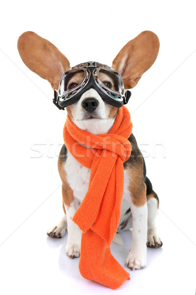 concept for travel or vacation pet aviator Stock photo © godfer
