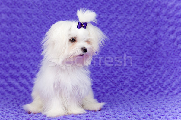 little pet dog Stock photo © godfer