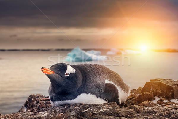 Penguin in Antarctica Stock photo © goinyk