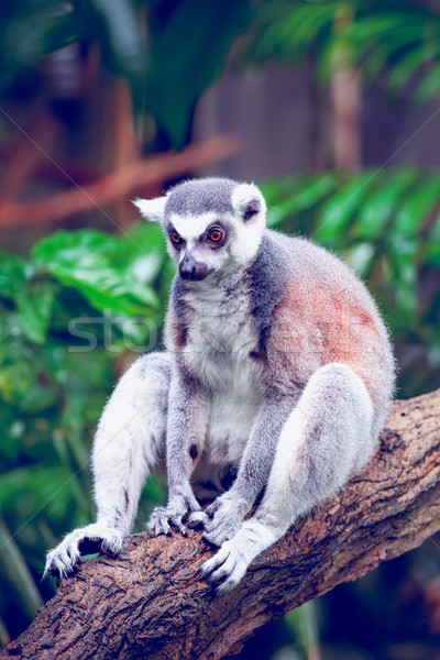 Ring-tailed lemur  Stock photo © goinyk
