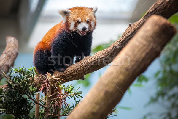 Red Panda Stock photo © goinyk