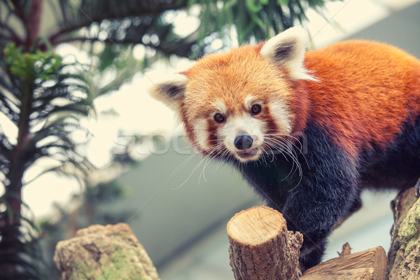 Rosso panda ritratto cat foglie bambù Foto d'archivio © goinyk