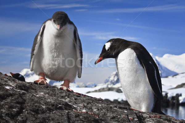two penguins resting  Stock photo © goinyk