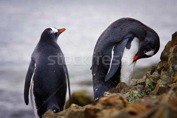 penguins on the rocks  Stock photo © goinyk