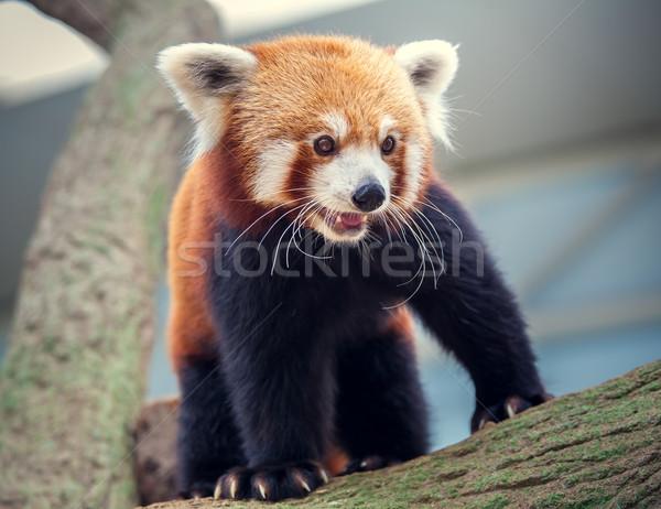 Rood panda portret kat bladeren bamboe Stockfoto © goinyk