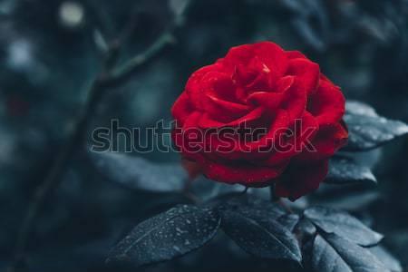 Piros rózsa kert művészet virágmintás sötét virág Stock fotó © goinyk