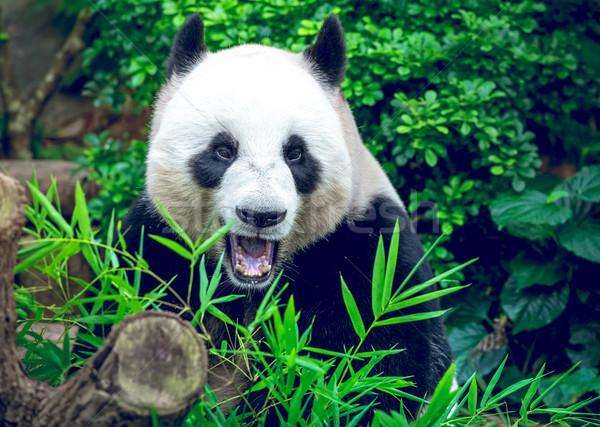Giant panda Stock photo © goinyk