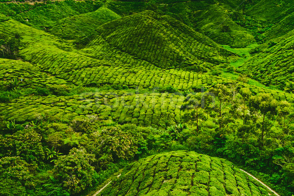 Tea plantation  Stock photo © goinyk