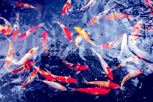Koi karper Rood goud witte Stockfoto © goinyk