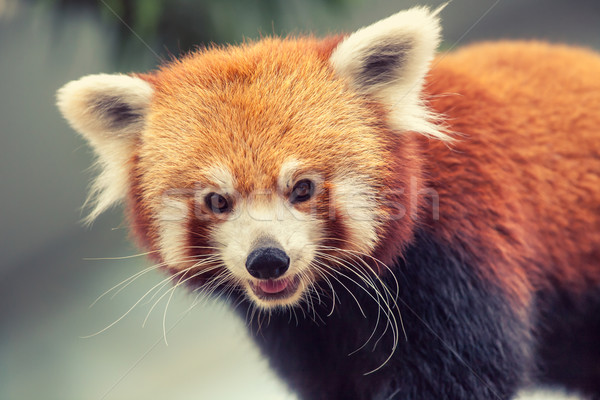 Rojo panda retrato forestales hojas jóvenes Foto stock © goinyk