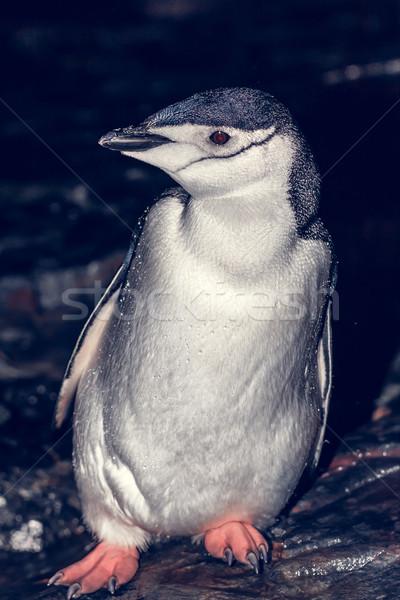 Black and white penguin in Antarctica Stock photo © goinyk