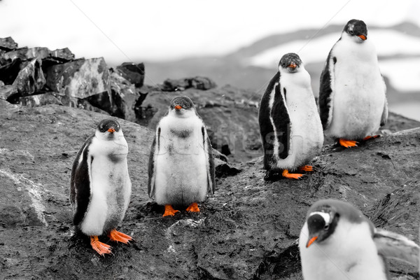 Group of penguin chicks Stock photo © goinyk