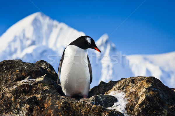 penguin on the rocks Stock photo © goinyk