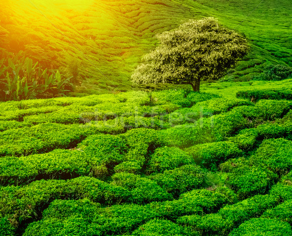 tea plantations sunset Stock photo © goinyk
