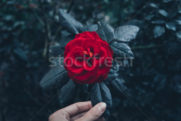 Red rose in garden  Stock photo © goinyk