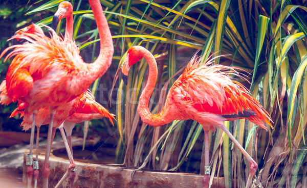 Rosa flamingo Cingapura jardim zoológico pássaro Foto stock © goinyk