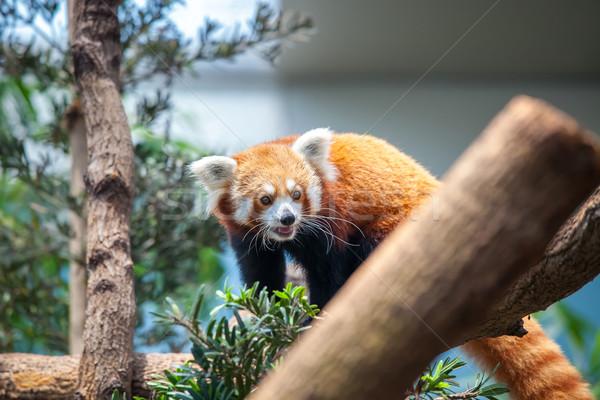 Red Panda Stock photo © goinyk