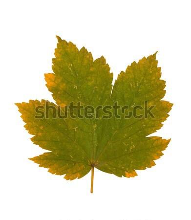 Levél ősz izolált fehér természet környezet Stock fotó © goir