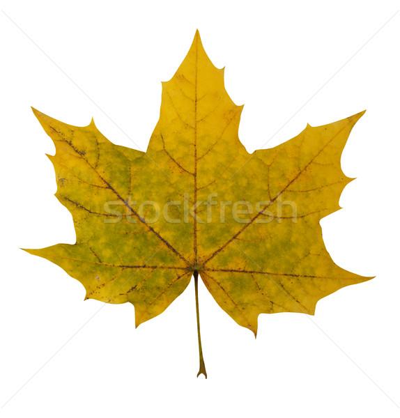 Rosolare foglia d'acero isolato bianco natura autunno Foto d'archivio © goir