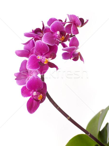 Orchidée pourpre isolé blanche nature horizons Photo stock © goir