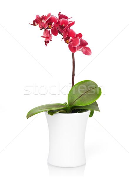 Orchidee Rood pot geïsoleerd witte natuur Stockfoto © goir