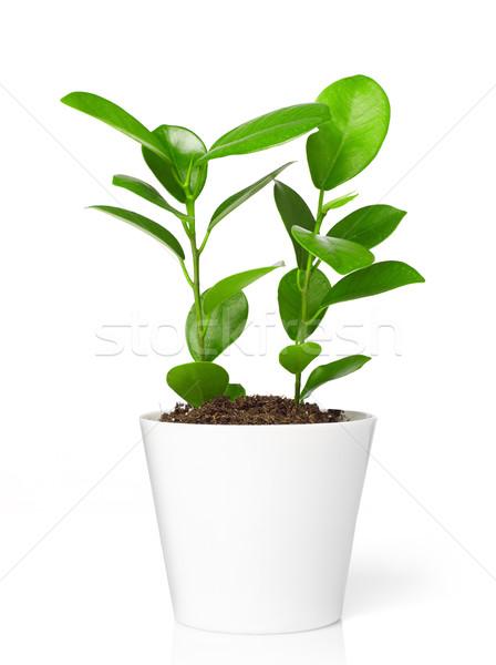 Plant pot decoratie geïsoleerd witte natuur Stockfoto © goir