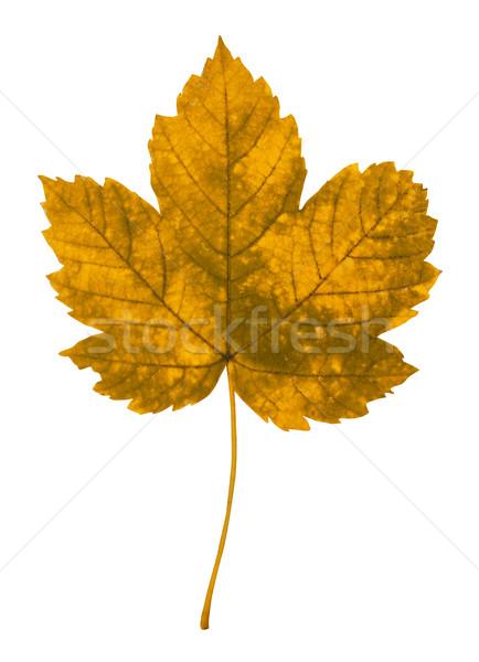ősz levél izolált fehér természet környezet Stock fotó © goir