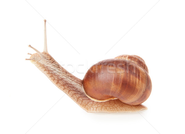 Snail Stock photo © goir