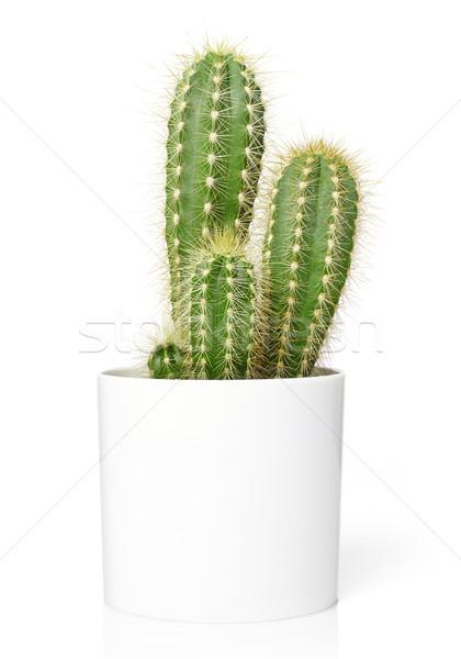 Edény kaktusz izolált fehér természet növekedés Stock fotó © goir